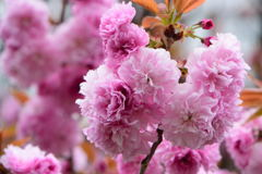 八重桜 一葉 2