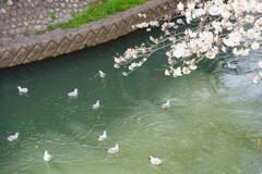 ユリカモメの花見