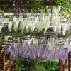 藤棚 白と紫
