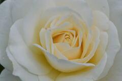 薔薇 ファビラス