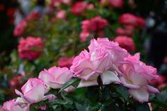 薔薇 プリンセス ドゥ モナコ