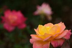 薔薇 リオサンバ