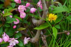 花海棠とタンポポ