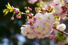 桜 一葉 2