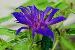 朝顔 紫覆輪采咲牡丹