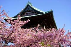 河津桜 赤門