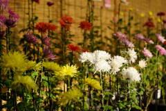 伝統の古典菊