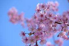 河津桜 10