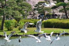 千葉公園 ユリカモメ