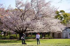 桜吹雪 2