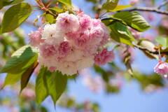桜 一葉 終