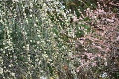 紅白枝垂れ梅