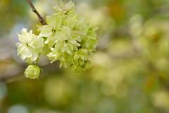 桜 御衣黄