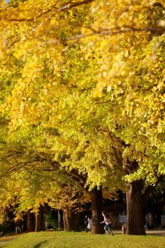 銀杏並木 2