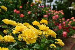 薔薇 ヘンリーフォンダ