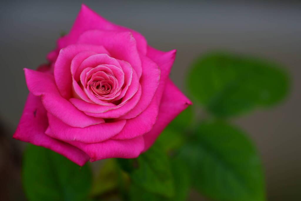 薔薇 スイートメリナ