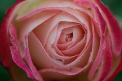 薔薇 ジュビレ デュ プリンス ドゥ モナコ