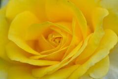 薔薇 ゴールデン・フラッシュ