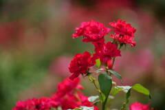 薔薇 ベビー ブレーズ