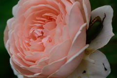 薔薇のベッドで