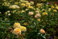 薔薇 キャラメル アンティーク