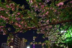 スカイツリーと八重桜
