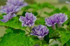 朝顔 淡水色地青紫吹雪星咲牡丹