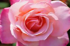薔薇 ファースト プライズ