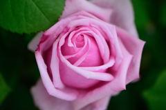 薔薇が咲いたぁ~