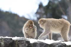 snow monkey ④