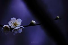 ☆紫に咲く