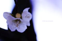 ☆Last plum