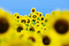 ☆Sunflower hill