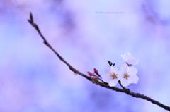 ☆Good-Bye 桜姫