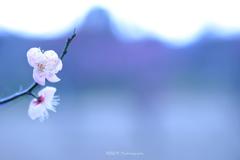 ☆Cherry Blossomsな私♪