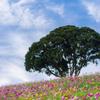 青空に広がる秋桜