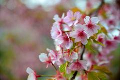 みんなの公園の大寒桜