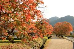 柳坂曽根の櫨並木 1