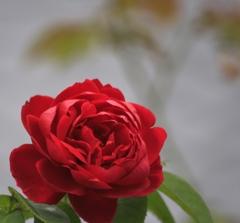 紅い薔薇♪