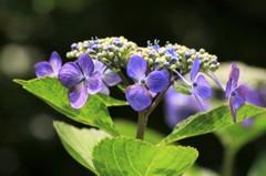 紫陽花 黒景