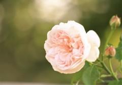 春の薔薇Ⅱ