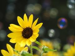 向日葵を飾る
