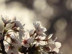 桜の花びら♪