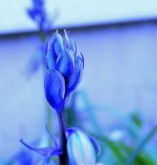 庭の花 ブルー