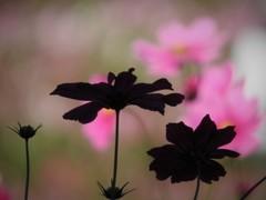 シルエット秋桜