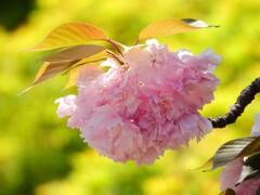 名残の桜も