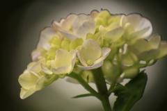 紫陽花 滲む