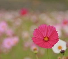 コスモスの花は今でも♪