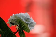 紫陽花 赤背景