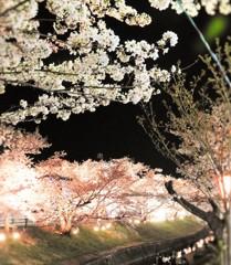 春の花 夜桜~